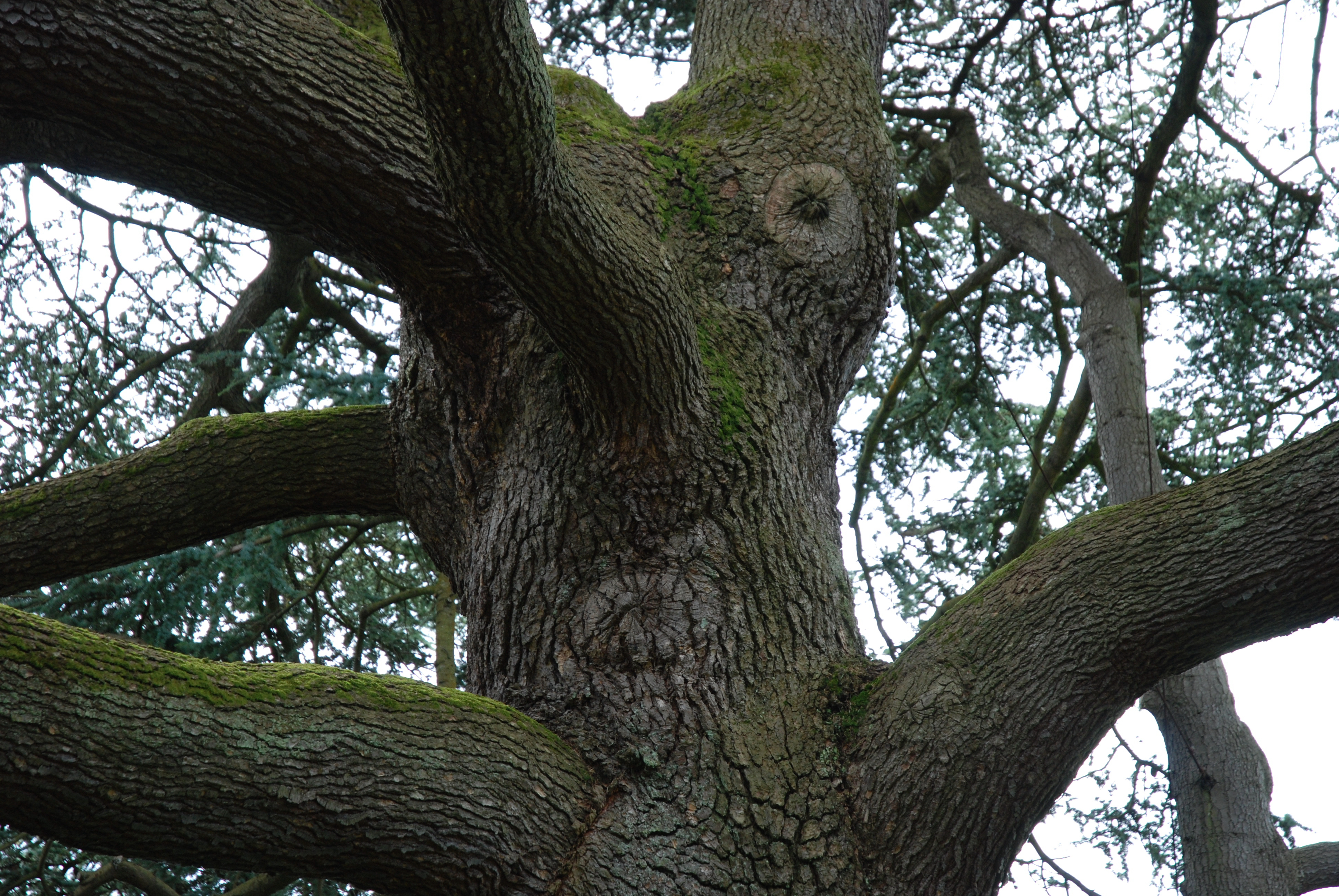 A close up section of a tree of around two metres diameter spouting six or so closely positioned brances of arounf half a metre each. A couple of knots and the positioning of one of the branches could be seen as resembling a face