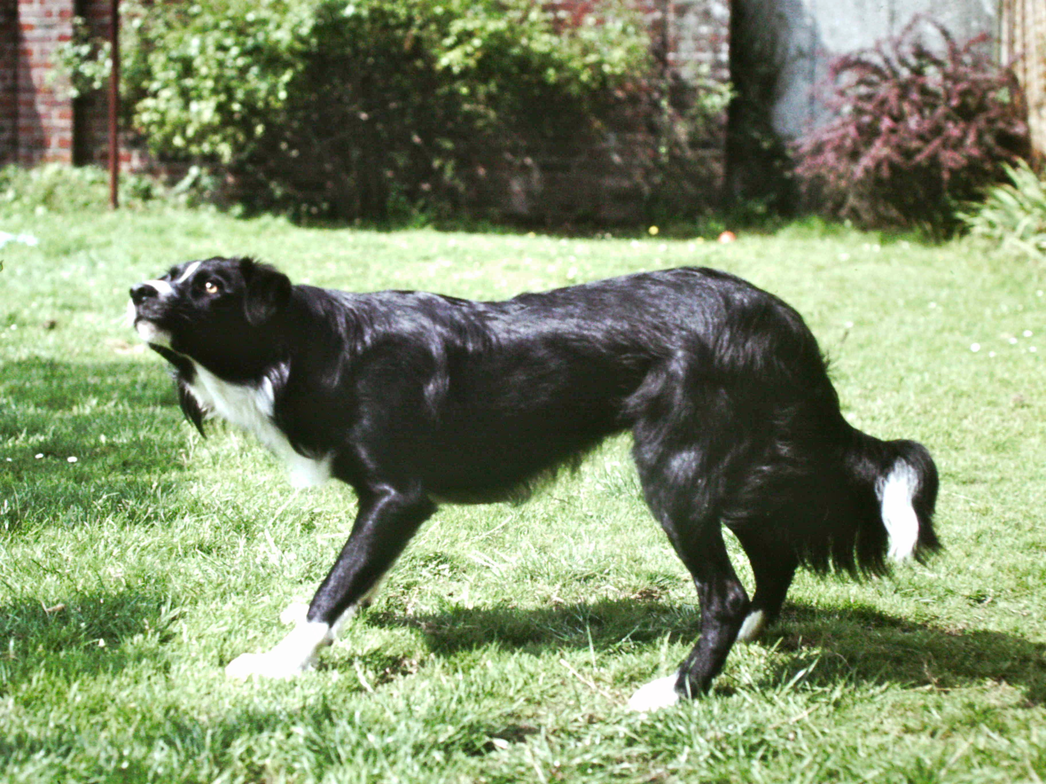 Image of a Border Collie Dog, stood with an arched back.