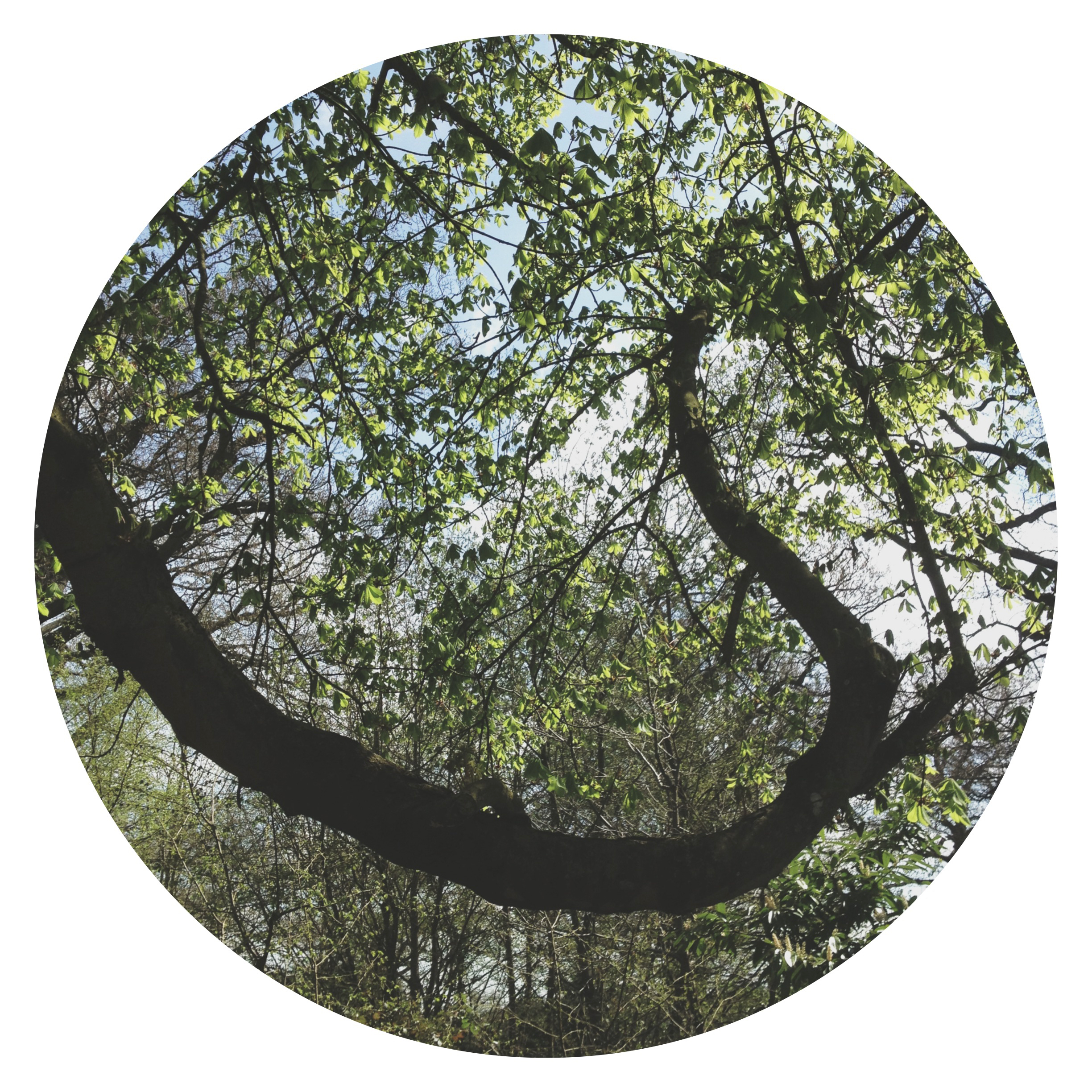 A circular photograph featuring a long tree branch that starts on the left side, drops to follow the curve of the photograph and rises again toward the upper right hand side. The background is the surrounding leafy woodland and tree tops