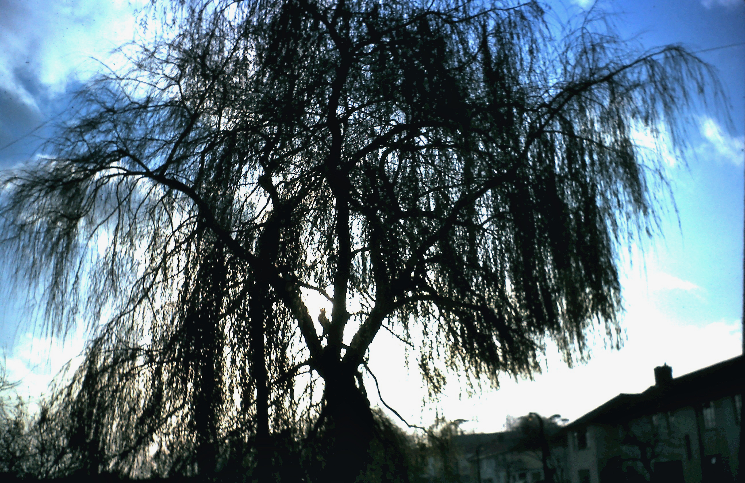 A classic weeping willow silhoutted against a blue and overexposed white sky near a row of nineteen fifties houses