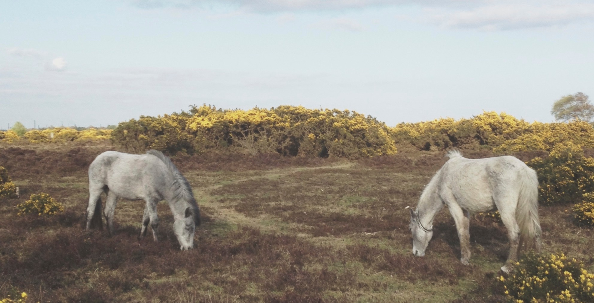 A photograph of two white ponies in a New Forest landscape